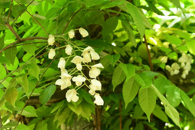 白藤(シロフジ)