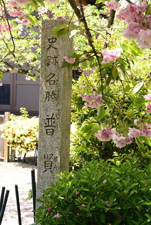 千本ゑんま堂の普賢象桜