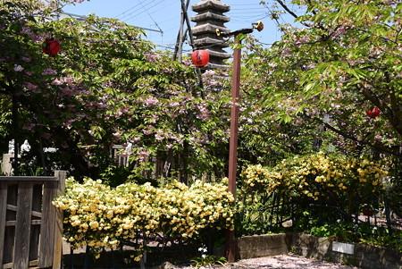 普賢象と黄木香薔薇咲く千本ゑんま堂