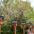 鬱金咲く平野神社