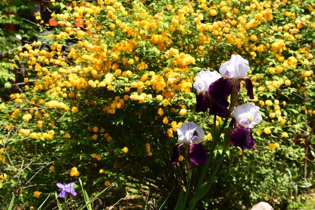 山吹の前に咲くジャーマンアイリス