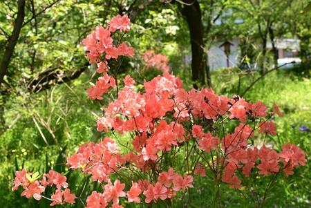 桜園の躑躅