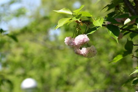 桜園の突羽根(ツクバネ)