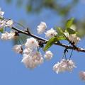 門西真ん中の桜