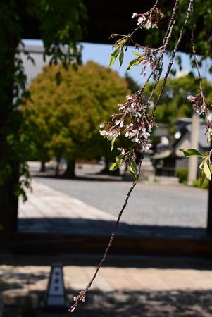 まだ残る枝垂れ桜