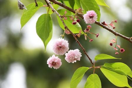 有栖川宮邸跡の菊桜(キクザクラ)
