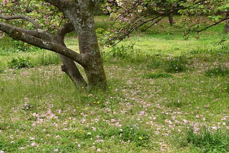 散り敷く桜