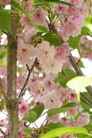 有栖川宮邸跡の八重桜