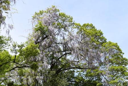 京都御苑の藤