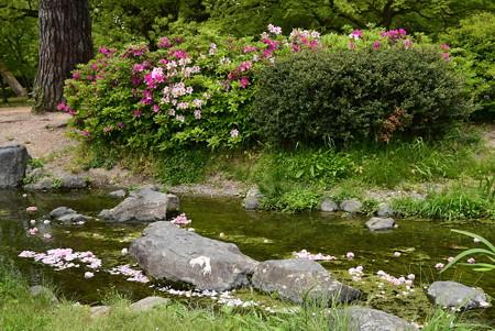 躑躅と花筏の出水の小川