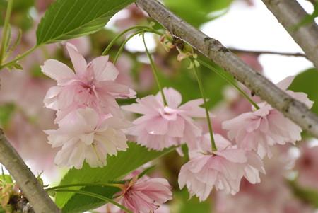有栖川邸跡の八重桜
