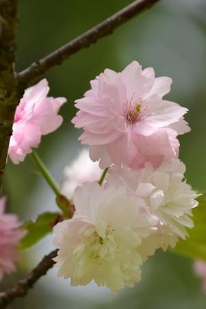 奈良の八重桜(ナラノヤエザクラ)