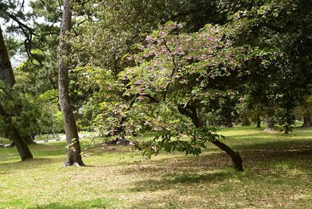 有栖川邸跡の菊桜