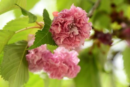 鴨川公園の八重桜