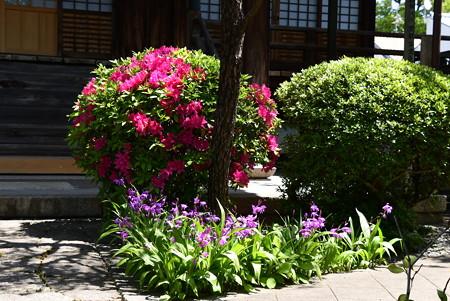 紫蘭と躑躅咲く佛陀寺