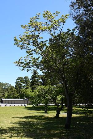 有栖川宮邸跡の奈良の八重桜(ナラノヤエザクラ)