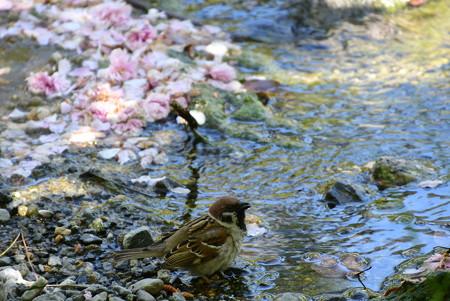 水を飲みに来た雀(スズメ)