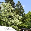 上賀茂神社のナンジャモンジャ