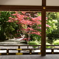 Photos: 楢の小川脇の春もみじ
