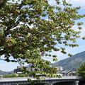 兼六園菊桜と比叡山