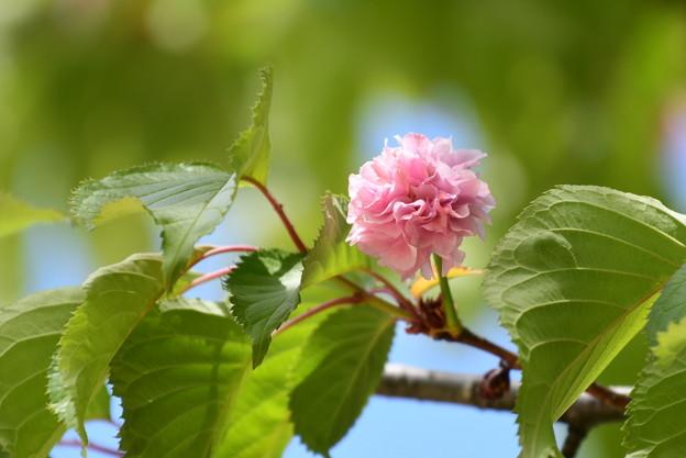 赤い八重桜