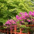 躑躅咲く大田神社