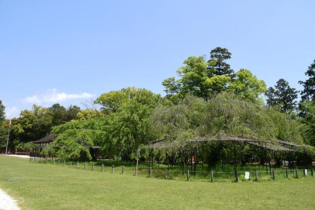 緑の斎王桜と御所桜