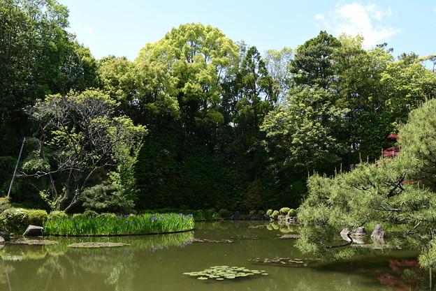 杜若咲く蒼龍池