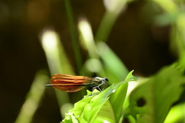 川蜻蛉(カワトンボ)