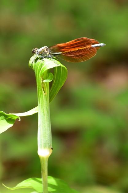 蝮草に止まる川蜻蛉(カワトンボ)