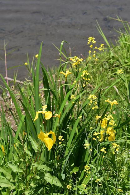 黄菖蒲と菜の花