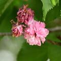Photos: 鴨川公園の八重桜
