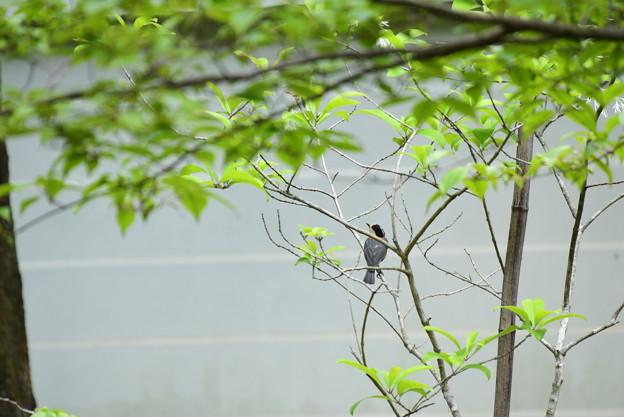 賑やかに山雀(ヤマガラ)