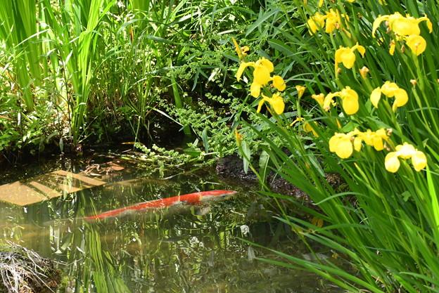 Photos: 鯉と黄菖蒲