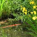 鯉と黄菖蒲