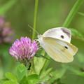 赤詰草に止まる紋白蝶(モンシロチョウ)