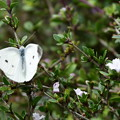 白丁花に止まる紋白蝶(モンシロチョウ)