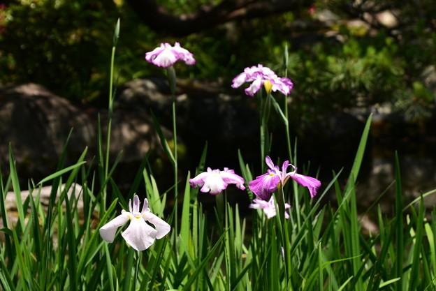 白虎池の花菖蒲