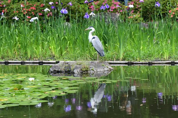 花菖蒲の中の青鷺(アオサギ)