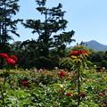 Photos: 薔薇園
