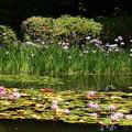 睡蓮と花菖蒲