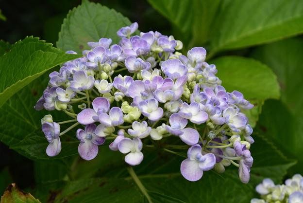 お多福紫陽花(オタフクアジサイ)