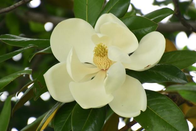 泰山木(タイサンボク)