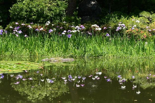 白虎池に映る花菖蒲