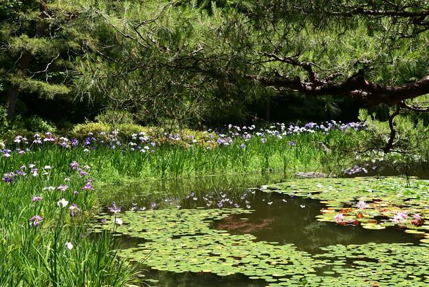 松の下に咲く花菖蒲