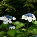平安の苑の紫陽花(アジサイ)
