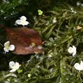 大カナダ藻(オオカナダモ)