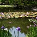 睡蓮と花菖蒲の白虎池