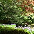 春もみじと花菖蒲