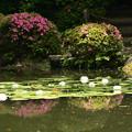 睡蓮と皐月の白虎池